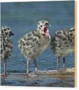 Mew Gull Three Chicks Wood Print by Tom Vezo