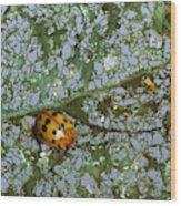 Mexican Bean Beetle Wood Print