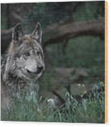 Mexican Grey Wolf Wood Print