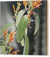Mexican Honeysuckle Blooms Wood Print