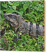 Mexican Spinytailed Iguana  Wood Print