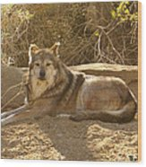 Mexican Wolf Close Up Wood Print