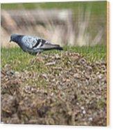 Michigan Rock Pigeon Wood Print