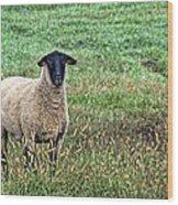 Middle Child - Blackfaced Sheep Wood Print
