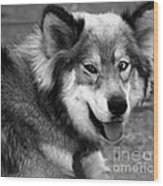 Miley The Husky With Blue And Brown Eyes - Black And White Wood Print by Doc Braham