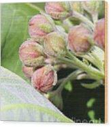 Milkweed Before Bloom Wood Print