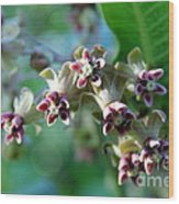 Milkweed Bloom Wood Print