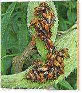 Milkweed Bug Nymphs - Oncopeltus Fasciatus Wood Print
