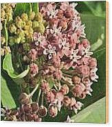 Milkweed Flowers In Bud Wood Print