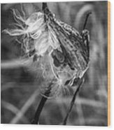 Milkweed Pod Monochrome Wood Print