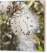 Milkweed Seeds 3 Wood Print