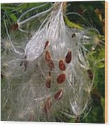 Milkweed Seeds Wood Print