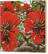 Milkwood Tree Blossoms In Donkin Reserve In Port Elizabeth-south Africa Wood Print