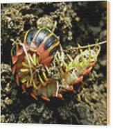 Millipede Polydesmida - Sigmoria Aberrans Wood Print