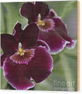 Miltoniopsis Rouge 'california Plum'  Macro  2692 Wood Print