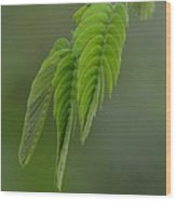 Mimosa Fronds In Spring Wood Print