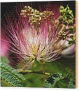Mimosa- The Beautiful Bloom Wood Print