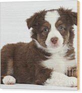 Miniature American Shepherd Puppies Wood Print