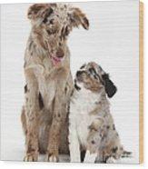 Miniature American Shepherd With Puppy Wood Print