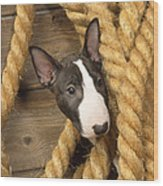 Miniature Bull Terrier Puppy Wood Print