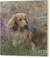Miniature Long-haired Dachshund Wood Print