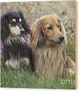 Miniature Long-haired Dachshunds Wood Print