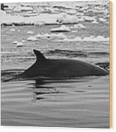 Minke Whale With Marked Notched Dorsal Fin And Yellow Diatom Marking With Tourist Zodiac Boats In Th Wood Print by Joe Fox
