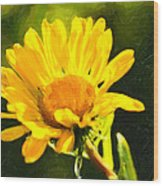 Moment In The Sun - Golden Flower - Northern California Wood Print