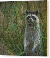 Momma Coon Wood Print