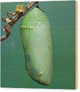 Monarch Butterfly Chrysalis Developing Wood Print