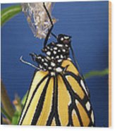 Monarch Butterfly Emerging From Chrysalis Wood Print