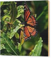 Viceroy Butterfly II Wood Print