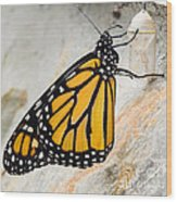 Monarch Butterfly Just Emerged From Her Chrysalis Wood Print
