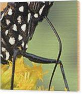 Monarch Butterfly Male Feeding Wood Print