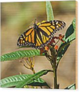 Monarch Butterfly On Plant With Eggs Wood Print