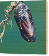 Monarch Butterfly Ready To Emerge Wood Print