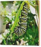 Monarch Caterpillar 5 Wood Print
