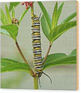 Monarch Caterpillar And Milkweed Wood Print