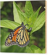 Monarch Egg Time Wood Print by Steve Augustin