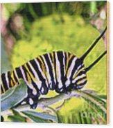 Monarch's Caterpillar.nz Wood Print