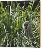 Monkey In The Grass Wood Print by Graham Palmer
