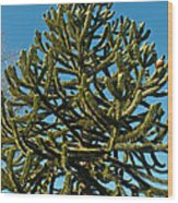 Monkey Puzzle Tree E Wood Print