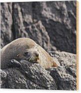 Montague Island Seal Wood Print