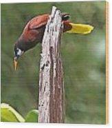 Montezuma Orependola Wood Print