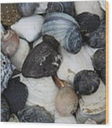 Moon Snails And Shells Still Life Wood Print