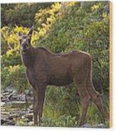 Moose Baby Sniffing Morning Air Wood Print