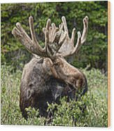 Moose Be Too Cool Wood Print