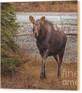 Moose Calf Wood Print