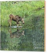 Moose Calf Testing The Water Wood Print
