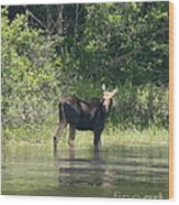 New Hampshire Grazing Cow Moose  Wood Print